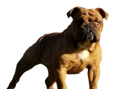 Sable English Bulldog Female