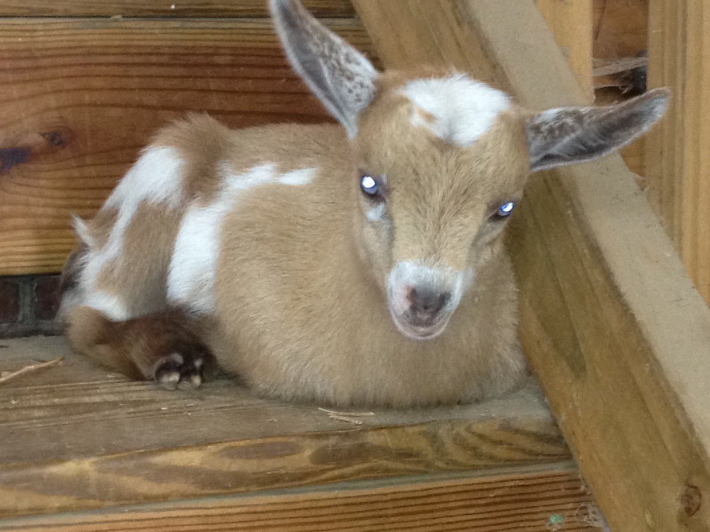 Nigerian Dwarf Goats Simple Pleasures Farm Nc