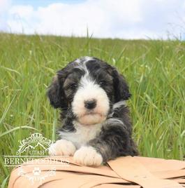 6 week brindle bernedoodle