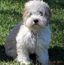 Florida Cockapoos - Breed And Sell Cockapoo Puppies, Breed And Sell