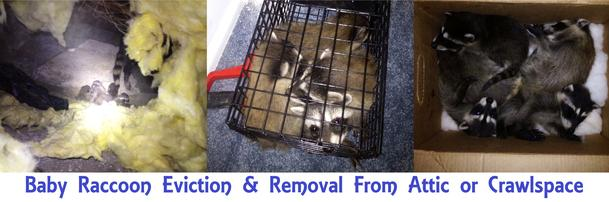 Los Angeles Raccoon Removal Cost- How Much Does Raccoon