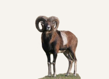 Hunting Mouflon Hawaii