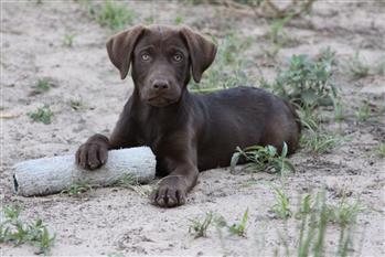 Hunting Dog Training Dallas