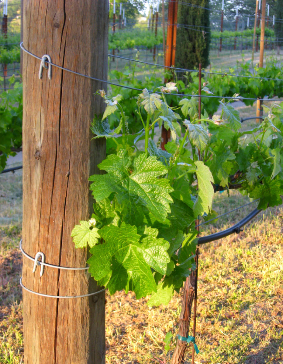 Grapevine and end-post