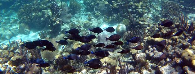 A school of blue tang swim at the Belize barrier reef. Snorkel the Reef in Belize. Belize Adventure Tours