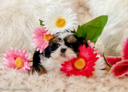Country Home Shih Tzu - Puppies, Puppies for Sale, Teacups Puppies