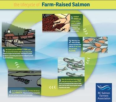 Life-cycle of farm-raised salmon