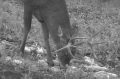 drop tine buck