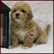 Red shichon poo puppies for sale