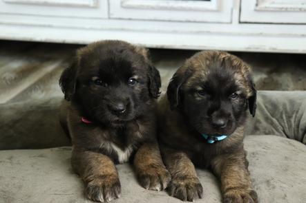 Oak Ridge Leonbergers - Leonberger Puppies For Sale