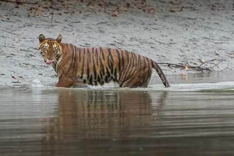 Royal Bengal Tiger- Sundarban & Kolkata tour package