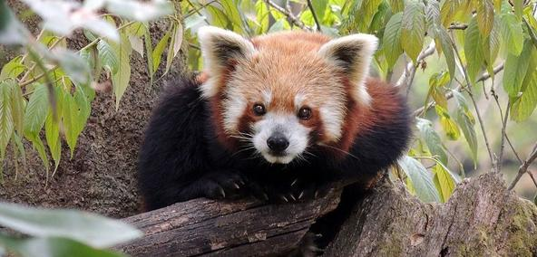 Red Panda At Darjeeling Zoo In Darjeeling Tour Package
