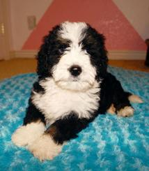 Tiny Bernedoodle Tricolor