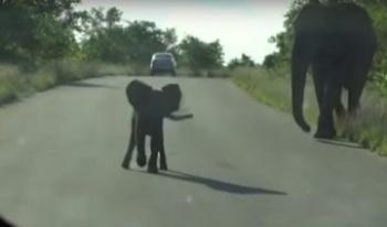 Brave Baby Elephant Protects his Mom