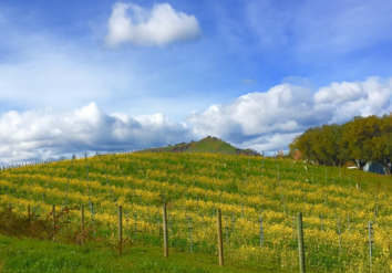 Mustard in bloom in the vineyard