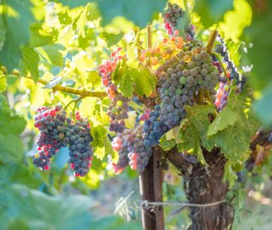 "Wine Enthusiast ""Grenache grapes on the vine at Cowhorn's vineyards in Southern Oregon / Photo by Robb McDonough"""