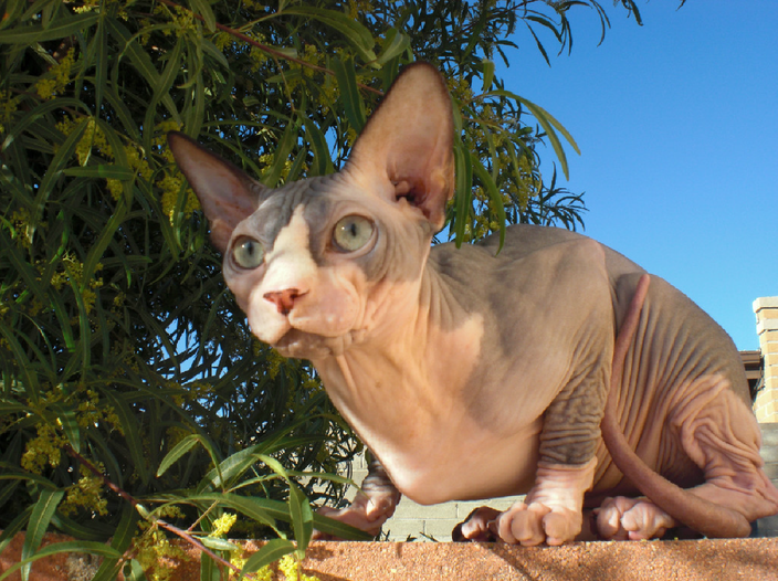 Breeders of High Quality Sphynx Cats, Adorable Sphynx