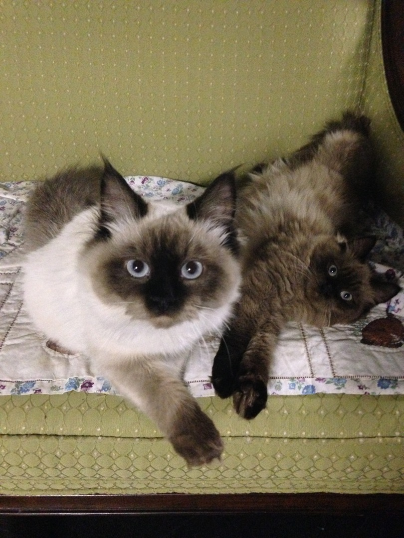 Mid Michigan Ragdoll Cats - Ragdoll Kittens For Sale in