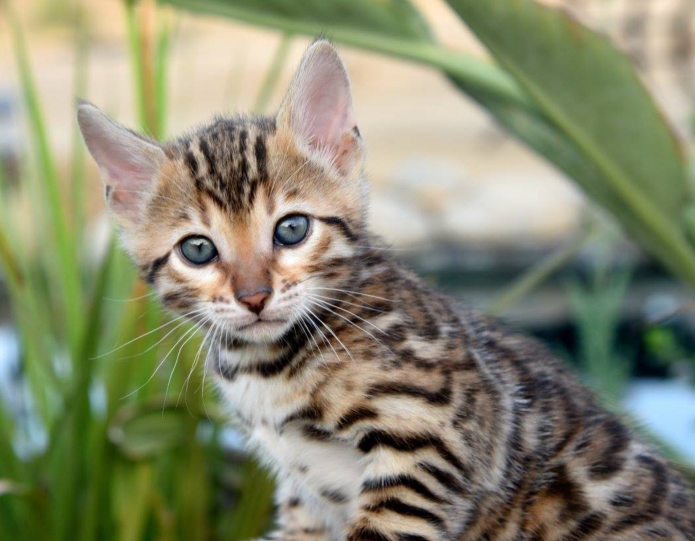 Bishops Bengals Bengal Kittens For Sale Bengal Cats Bengal