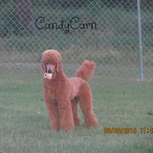 Palmares Red Standard Poodles - Red Standard Poodles,Full DNA and