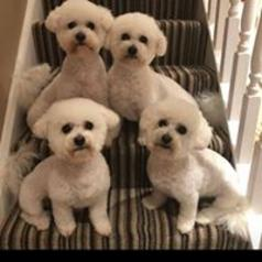 Four cute Bichon frise