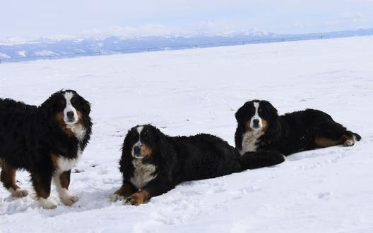 Tricolor Berneses Dog - Utah Bernedoodles