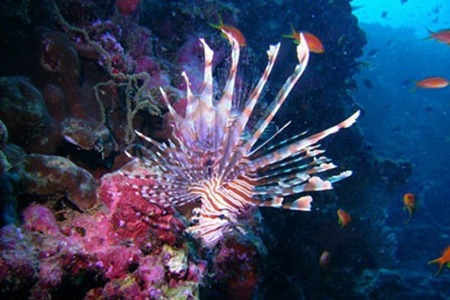 lion fish picture from Don Johnson Madison WI Scuba instructor