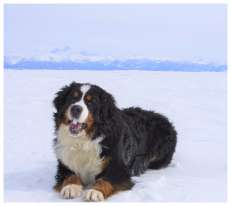 Max Bernese Mountain Dog