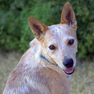 Texas Cattle Dog Rescue red heeler
