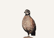 New Mexico Quail