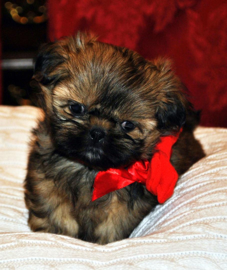 Shih Tzu Puppies For Sale Mn Sweetwater Shih Tzu