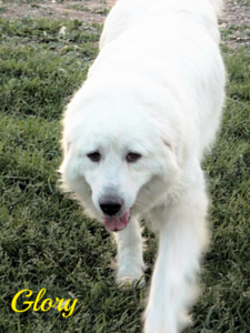 Glory Wells Providence Great Pyrenees
