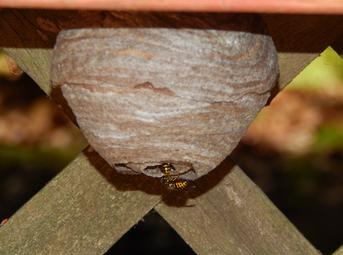 Yellow jacket hive