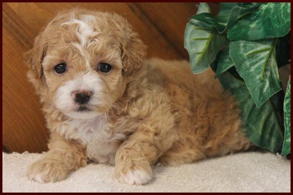 hypoallergenic bichon poodle puppy for sale