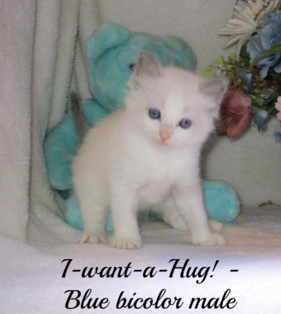 One of our ragdoll kittens