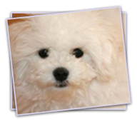 Bolognese and Coton Puppies for Sale - Coton and Bolognese