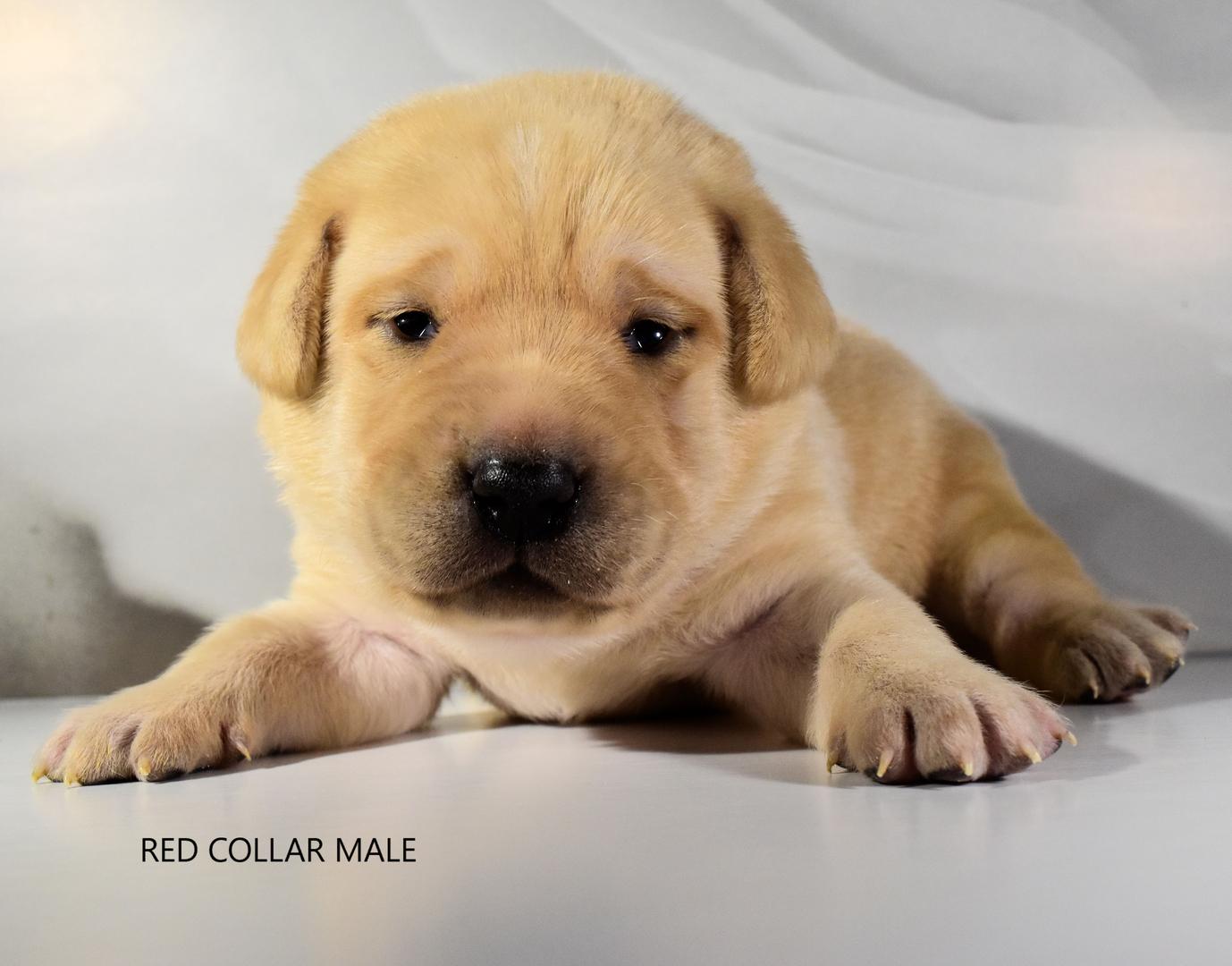 Lab Puppies For Sale Labrador Retriever