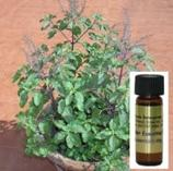 Tulsi Oil Essential Oil