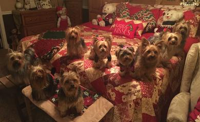 About Us-Bar-B's Silverstar Silky Terriers Breeders and