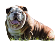 Chocolate English bulldog stud