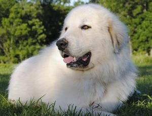 Wells Providence Great Pyrenees Puppies for sale