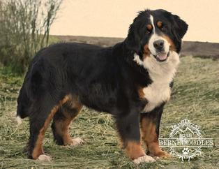 Bernese Female Dog - Utah Bernedoodles