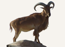 Hunting Aoudad Spain