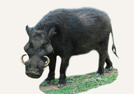 Central African Republic Giant Forest Hog