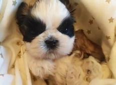 Purebred Shih Tzu puppies are available now in Minnesota and Wisonsin