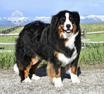 Bernese Mountain Dog Melody