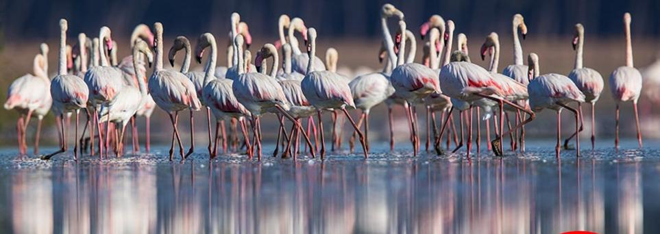Greater flamingo in the marshes in Spain