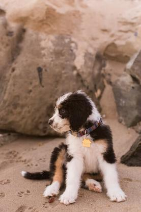 F1 Bernedoodle Puppy beach