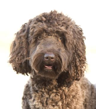 Delta Breeze Labradoodle Stud Cody-Lious. Brown Labradoodle Dog