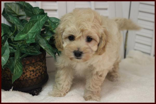 poochon puppy for sale in Iowa